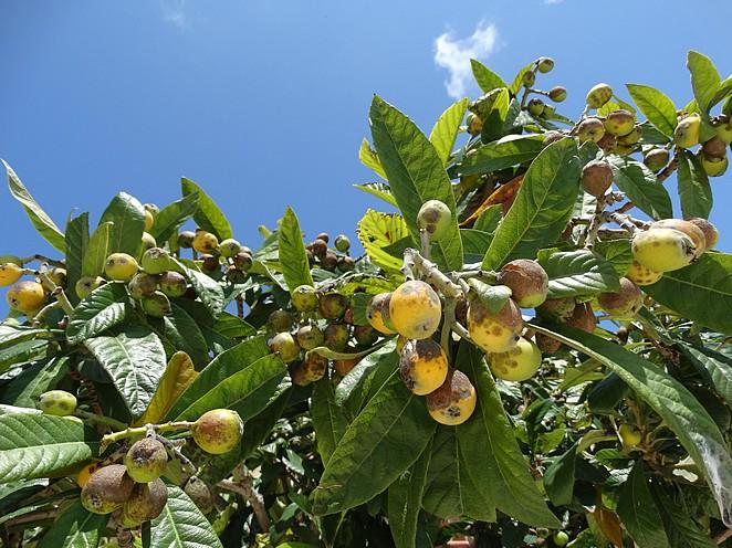 fruitboom-matera