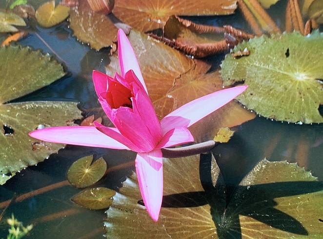 waterlelie-thailand