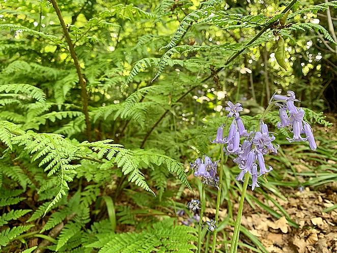 hyacintenbos