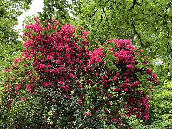 rododendron-landgoed-ockenburgh