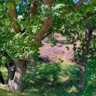 Heide in Den Haag: een rondje om natuurgebied Wapendal (kleine Haagse heide in bloei!)