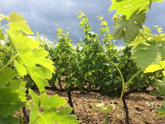 bolgheri-wijngaard