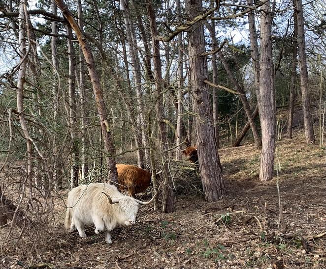 schotse-hooglanders-in-het-bos