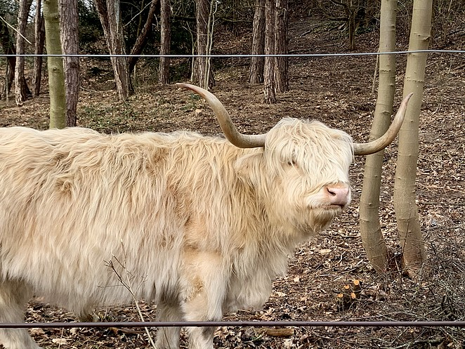 white-highland-cow