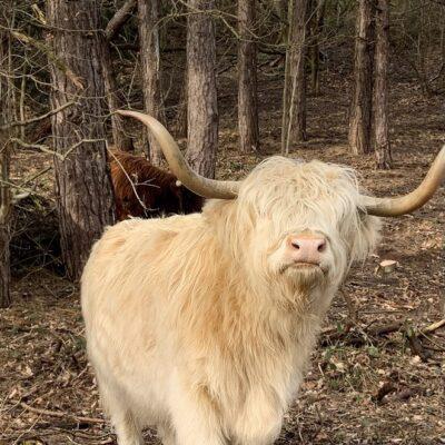 Witte Schotse Hooglander gespot! Waar in Nederland kun je blonde hooglanders zien?