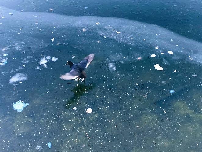 meerkoet-op-het-ijs