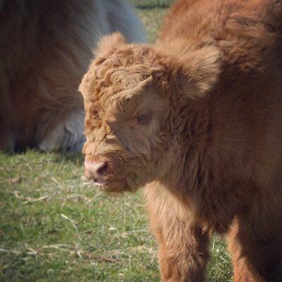 Dubbel lentevreugd: baby Schotse Hooglanders bij Lentevreugd in Wassenaar