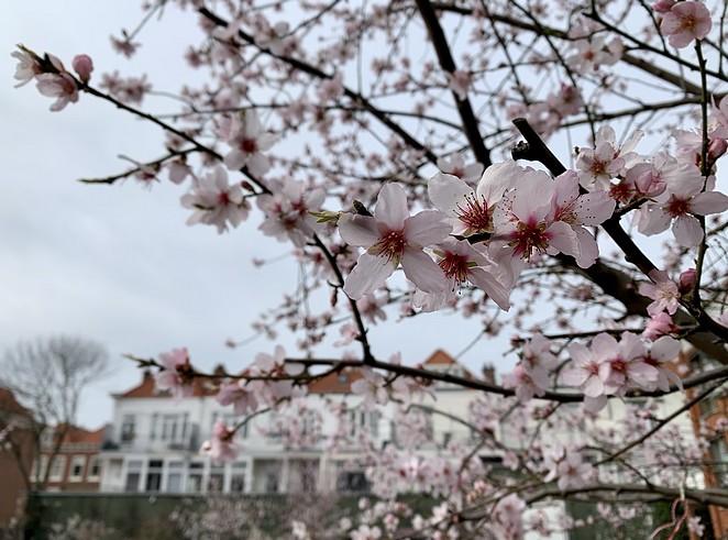 bloesem-begin-maart