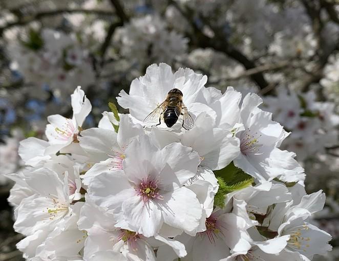 bloesem-den-haag-april