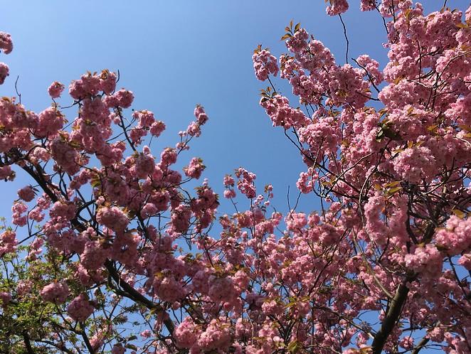bloesem-den-haag-eind-april