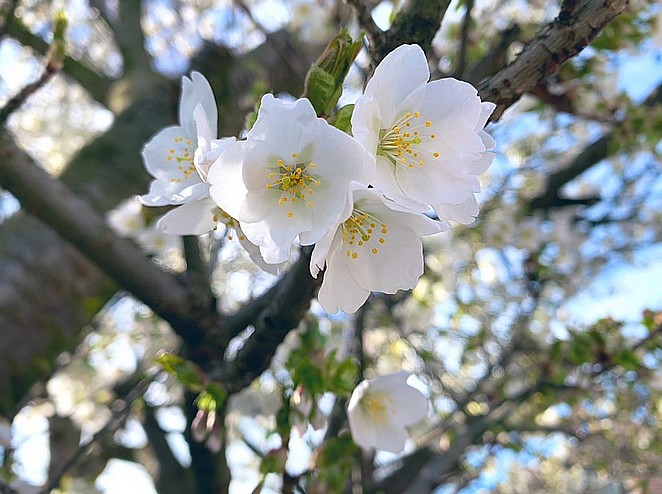bloesem-den-haag-half-maart