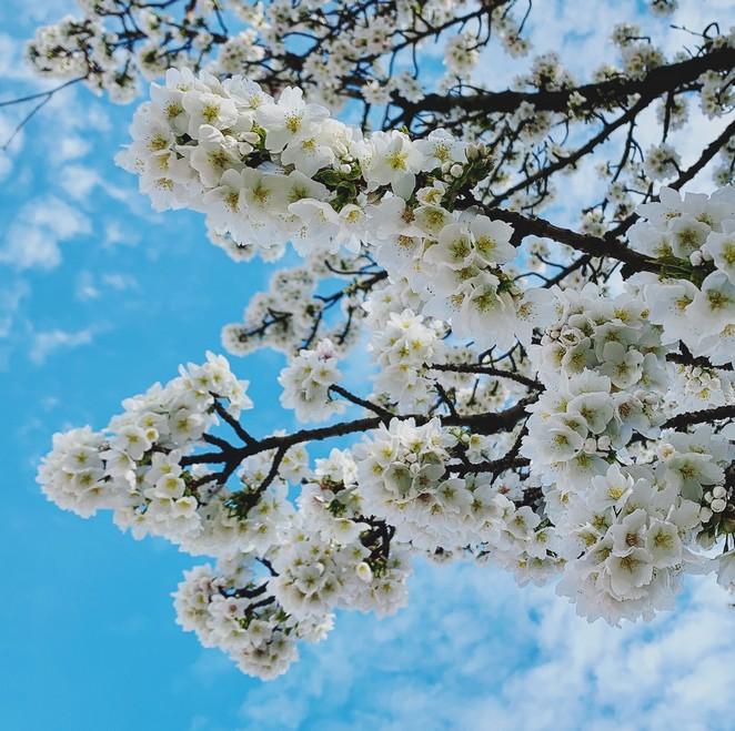 bloesem-half-maart