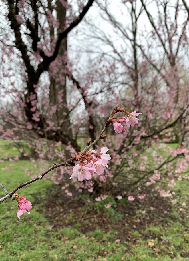 bloesem-half-maart-zuiderpark