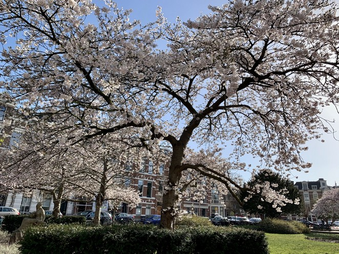 bloesembomen-sweelinckplein