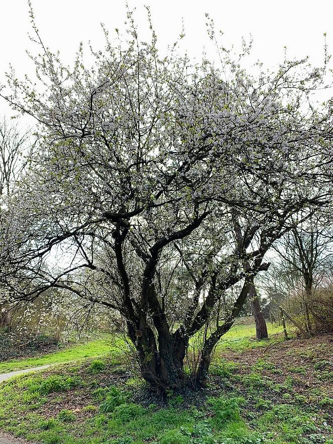 bloesemboom-duinen