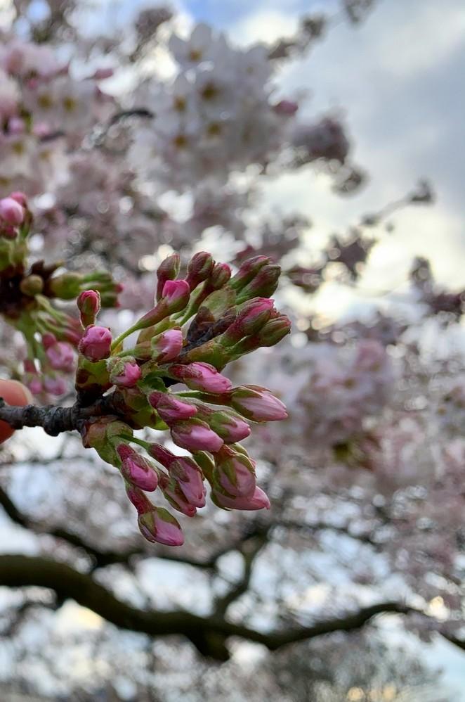 bloesemknopjes-maart