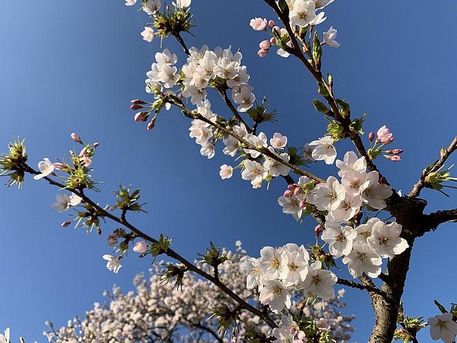 den-haag-bloesem-eind-maart