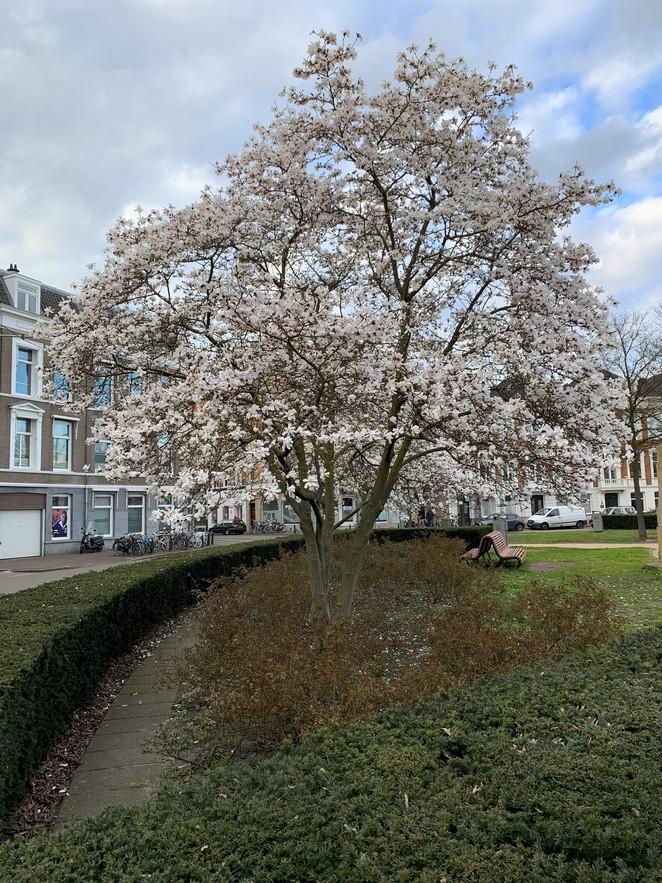 grote-bloesem-magnolia
