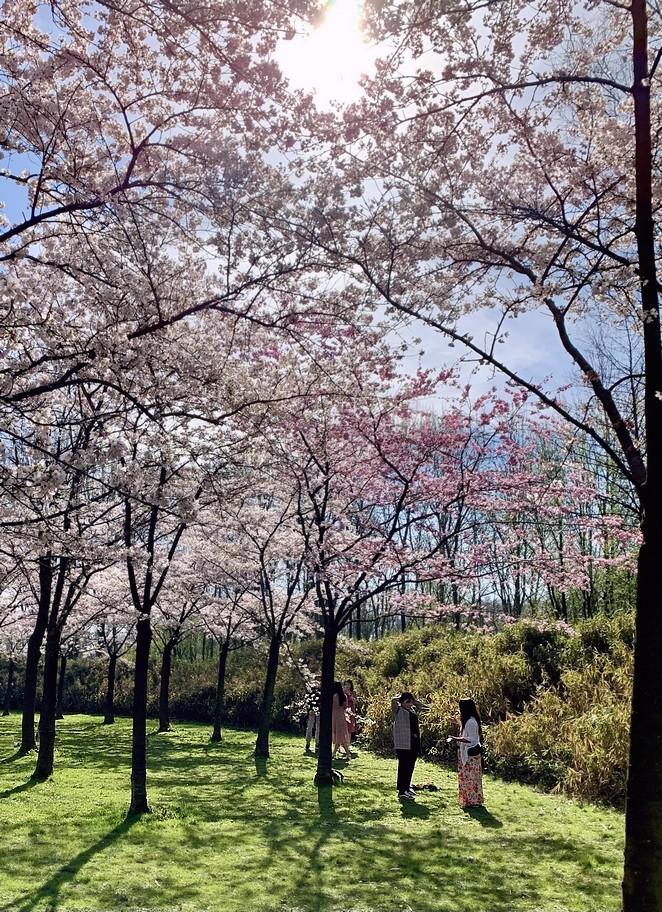 blossom-trees-amsterdam