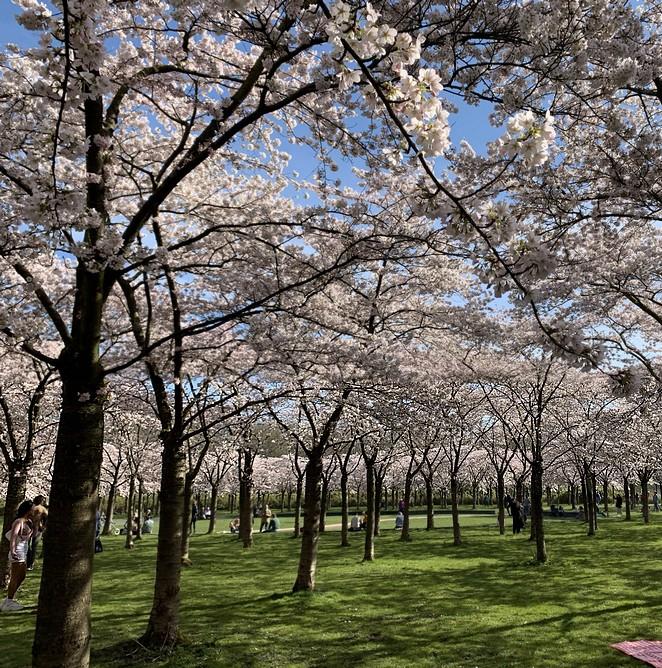 veel-bloesembomen