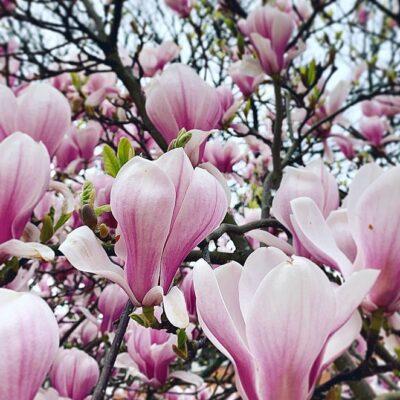 Bloesem in Den Haag: bloesempleinen en parken met magnolia, sierkers en andere mooie bloesembomen
