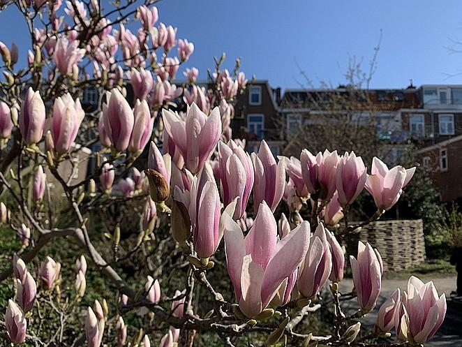 magnolia-eind-maart