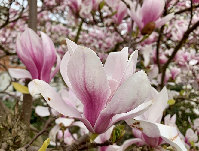 magnolia-in-bloei