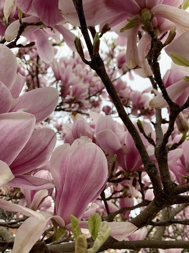 magnolia-the-hague