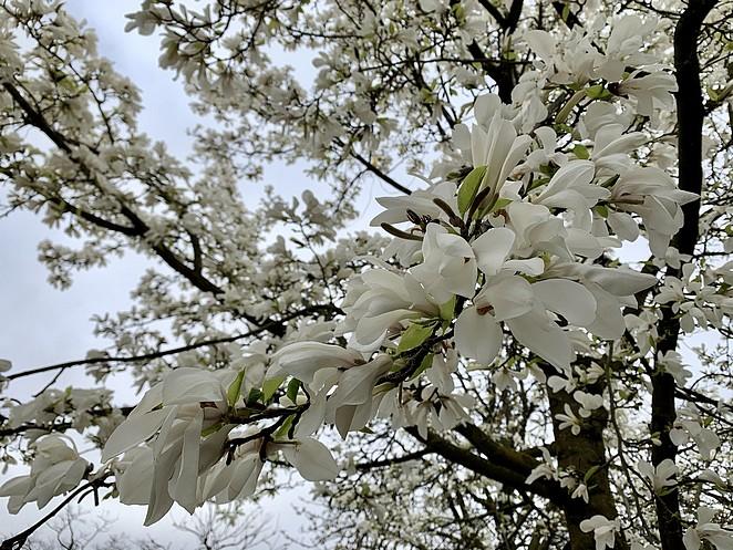 magnolia-den-haag-huijgenspark