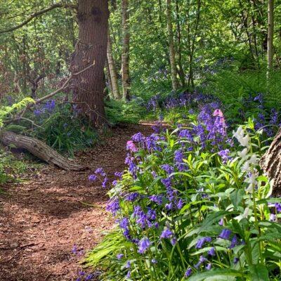 Hyacintenbos in bloei: wilde hyacinten in het Hyacintenbos in Den Haag (bluebells!)
