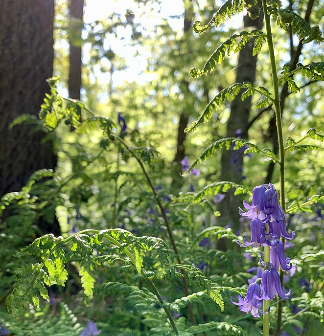 hyacintenbos-in-bloei