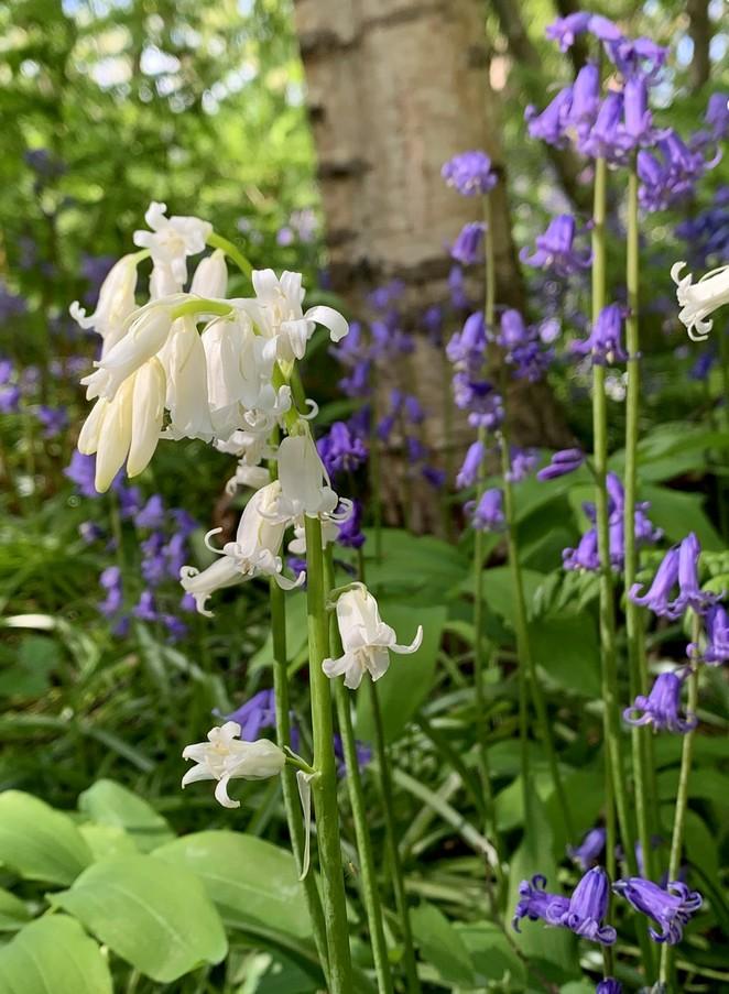 wanneer-hyacintenbos-in-bloei