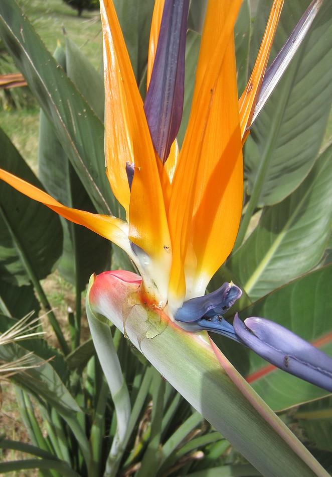 azoren-bloemen