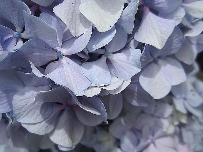 hortensia-azoren