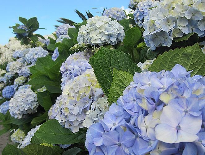 hortensias-azoren