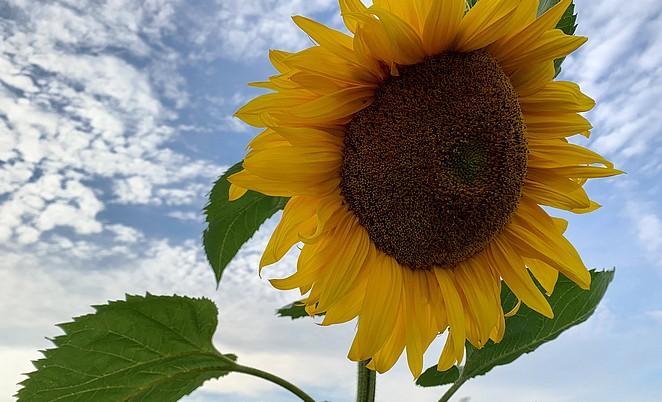 zonnebloemen-provence