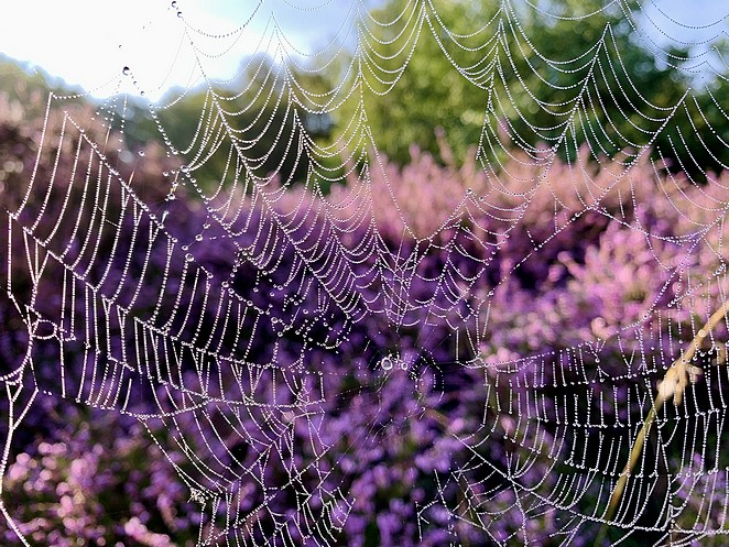 spinnenweb-heide
